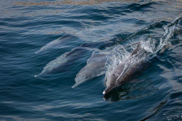 Dauphins dans les fjord d'Oman